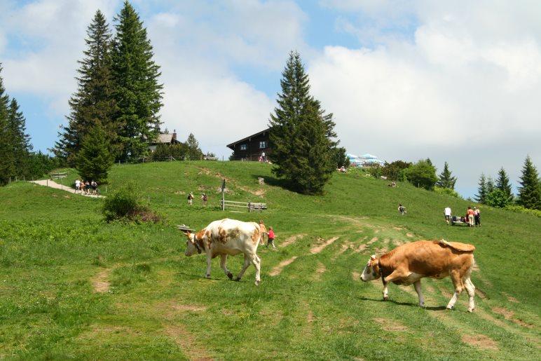 Auf der großen Almwiese kurz vor dem Gasthaus Neureuth