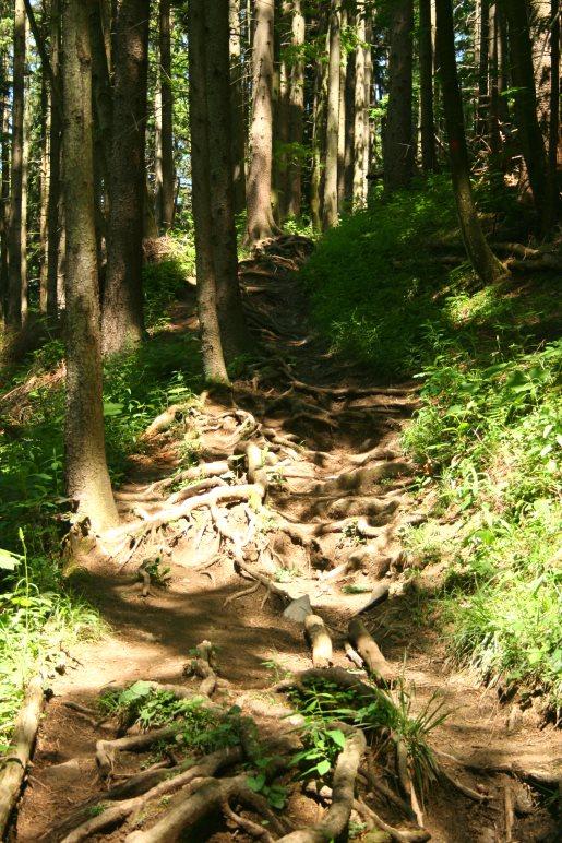 Schön wurzelig: Der alte Sommerweg hinauf zur Neureuth