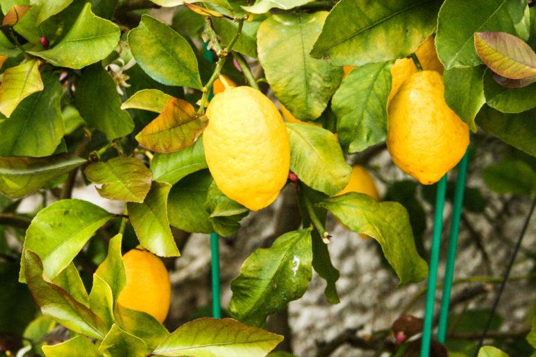 Limonen in der Limonaia in Limone