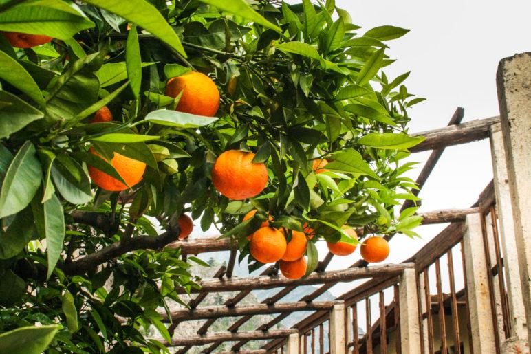 Orangen in der Limonaia