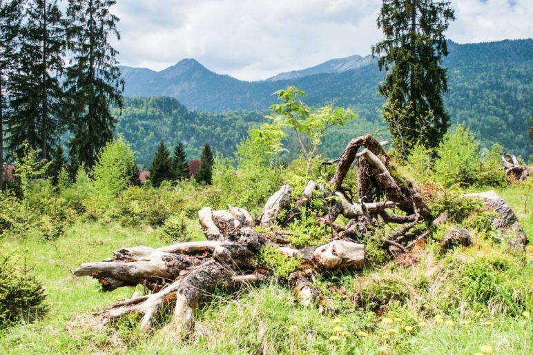 Wurzeln eines vom Sturm gefällten Baumes