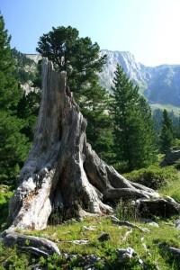 Ein ungewöhnlicher Baumstumpf im Zemmgrund