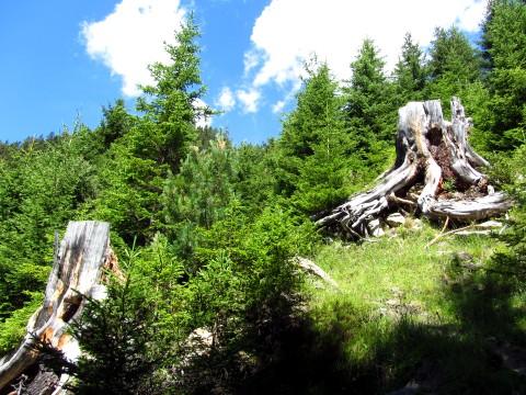 Im Wald tauchen immer wieder bizarre Baumstümpfe auf