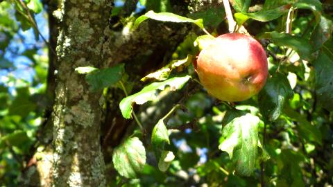 Lecker, ein Apfel direkt vom Apfelbaum