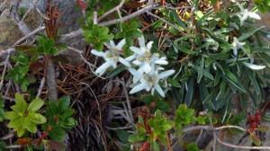 Edelweiss am Monte Baldo. Der italienische Name Stella Alpina klingt noch schöner