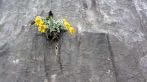 Diese Blumen sind wahre Helden, sie haben es sich mitten im Fels eingerichtet