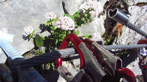 Karabiner, Seil und Blumen mitten im Klettersteig