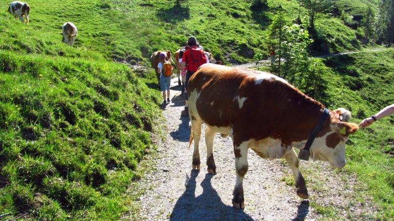 Gleich zu Beginn der Wanderung treffen wir auf eine Kuhherde