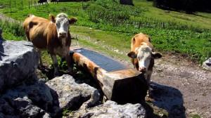 Kühe an der Tränke bei der Stuhlalm