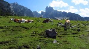 Kühe vor der Bischofsmütze oberhalb der Stuhlalm