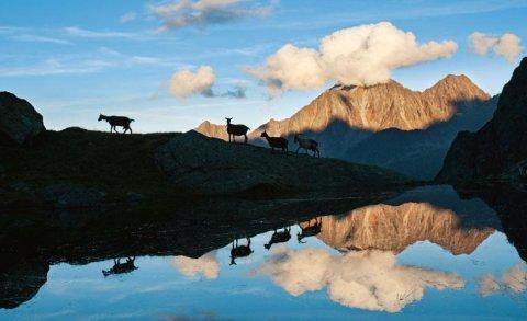 Tirol 2013 - Das Titelfoto zeigt Ziegen vor der Neuen Regensburger Hütte - Foto: Heinz Zak