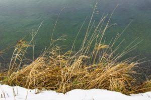 Seegras am Seeufer