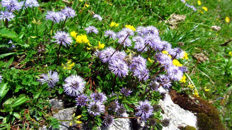 Der Geigelstein gilt auch als Blumenberg. Hier auf dem Foto einige Nacktstängelige Kugelblumen, wie ich jetzt Dank Sabines Kommentar weiß!