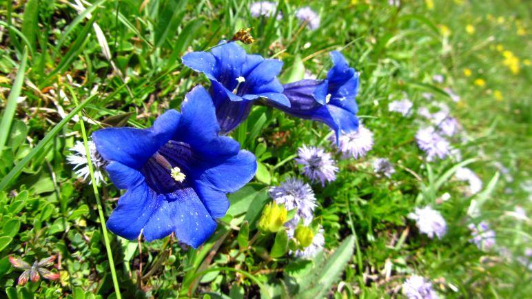 So blau blau blau blüht der Enzian am Geigelstein