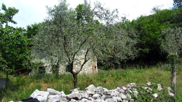 Oben wandert man zwischen Olivenbäumen