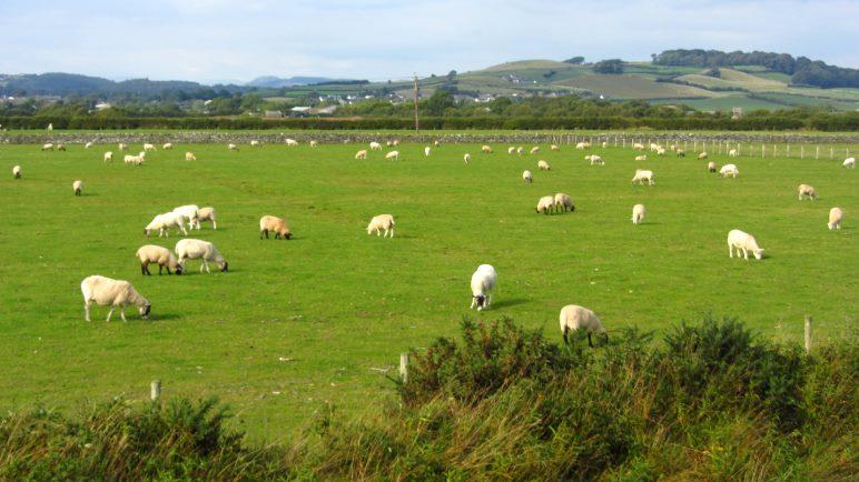 Schafe gibt es hier wirklich unglaublich viele