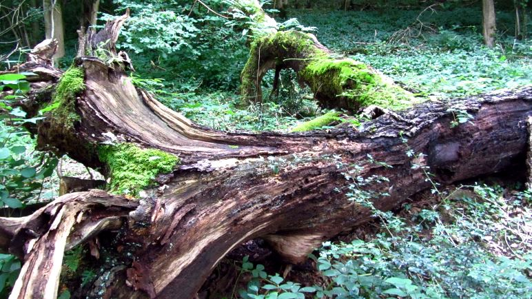 Toter Baum im Wald am Humphrey Head