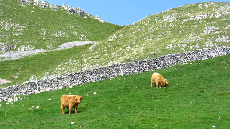 Zottelige Highland Rinder