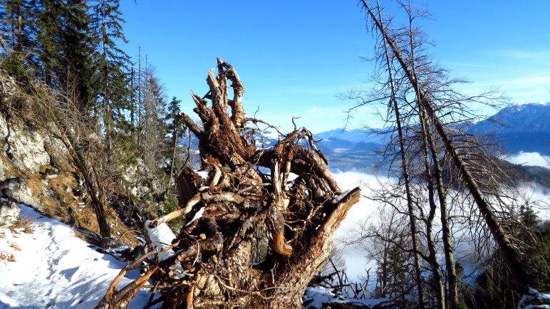Eine wilde Wurzel auf dem Steig, kurz vor dem Brünnsteinhaus
