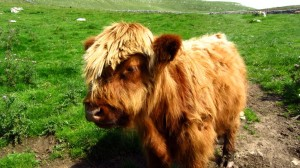 Ein junges Highland Rind. Schicke Frisur!