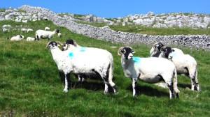 Grünpunkt-Schafe
