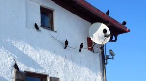 Auf jeder Leitung, auf dem Dach und den Fensterlden hocken sie. Und dem Chef gehört die Satellitenschüssel