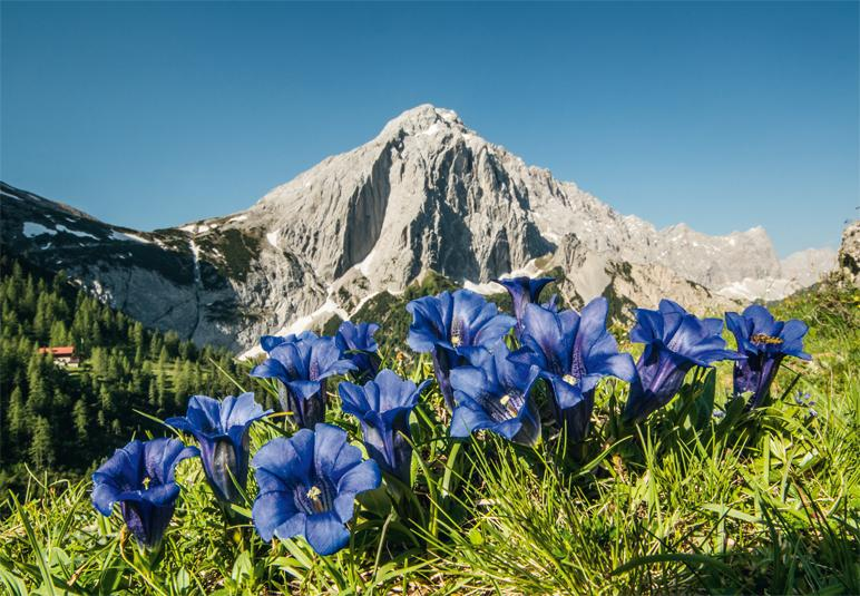 Enzian im Karwendel - Foto: Heinz Zak