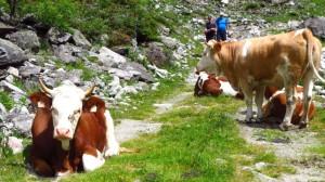 Neugierge Kühe auf dem Weg