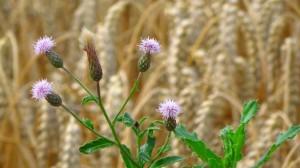 Auch wilde Blumen wachsen im Kornkreis