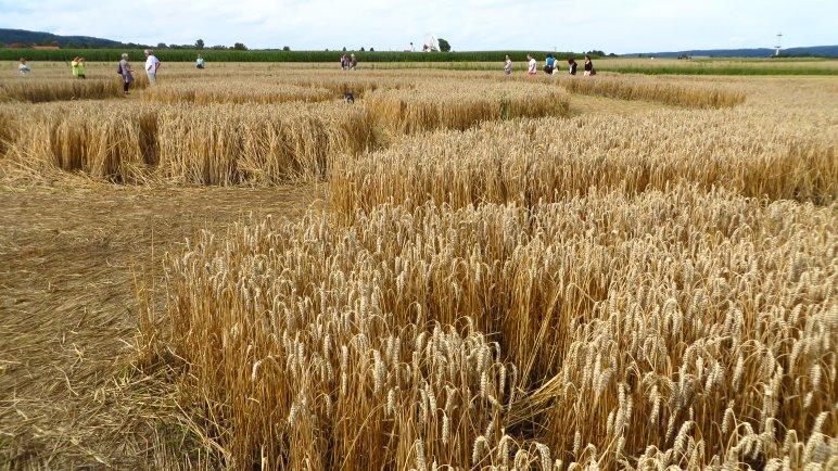 Im Kornkreis, mit Blick auf den Ort Raisting