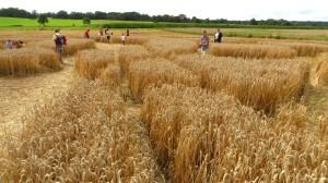 Verschiedene schmale Wege durchziehen den Kornkreis