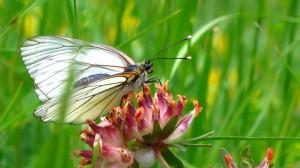 Ein Schmetterling an der Malga Vil