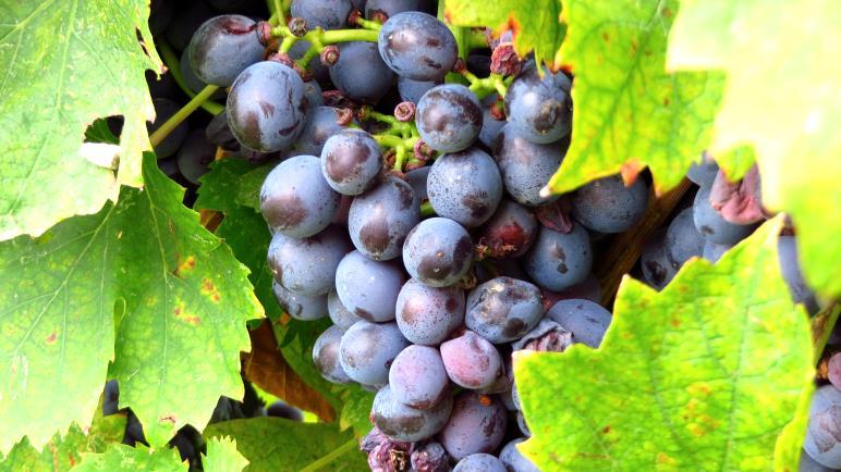 Aus diesen Trauben wird einmal der berühmte Bardolino gekeltert