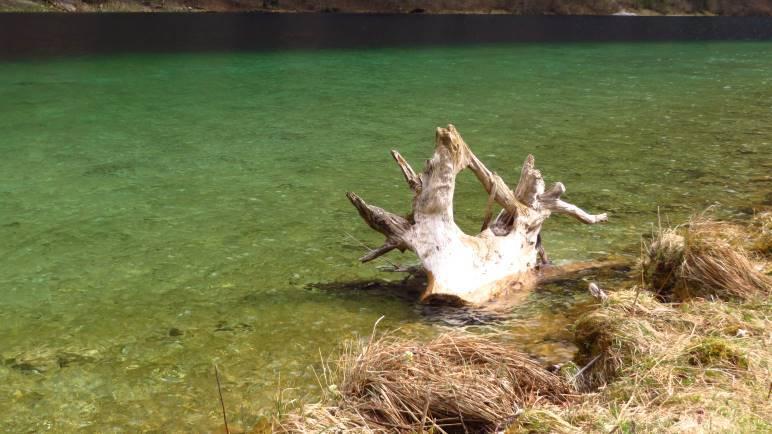 Eine schöne Wurzel im grünen Königssee