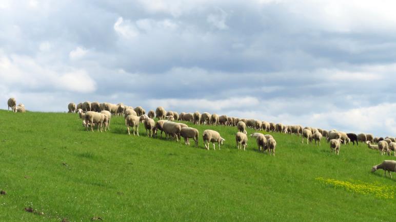 Eine Schafherde oberhalb von Owen