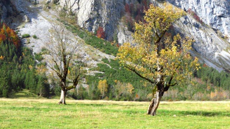 Bergahorne im Großen Ahornboden vor den Felswänden des Gamsjoch