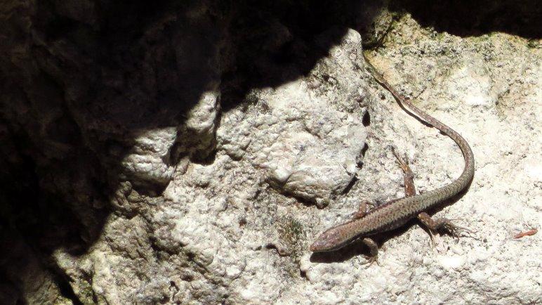Eine Eidechse sonnt sich auf den warmen Felsen