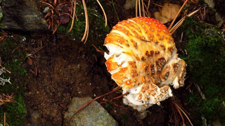 Diesen Pilz habe ich Spaltpilz getauft, aber er sieht auch nach einem Gebäck aus