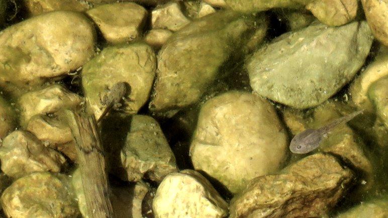 Zwei Kaulquappen, die eine ist schon fast ein fertiger Frosch, nur den Schwanz muss sie noch abwerfen