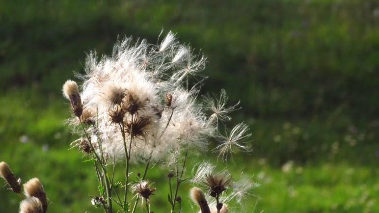 Baumwolle? Eine Wiesenblume in der Nähe des Blecksteinhauses