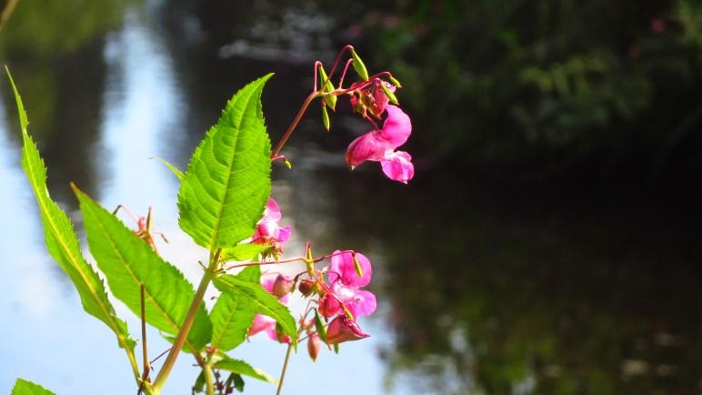 Eine Wiesenblume an der Valepp - das problematische Indische Springkraut