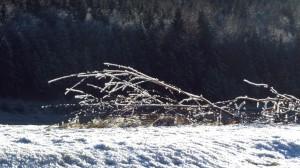 Ein Ast voller Raushreif vor dunklem Tannenwald