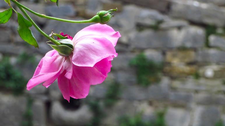 Eine Rose, die an der Stadtmauer wächst
