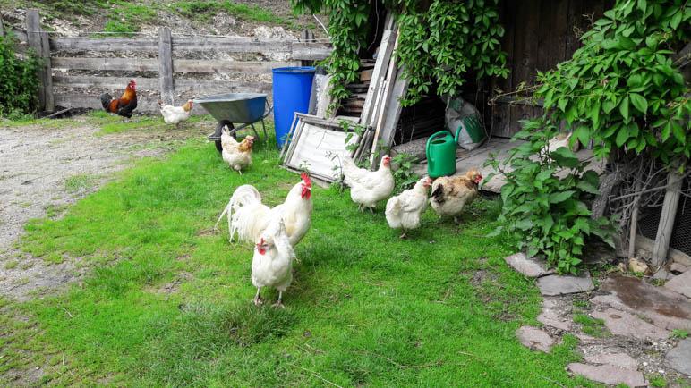 Glückliche Hühner, stolzer Hahn an der Gröbl-Alm