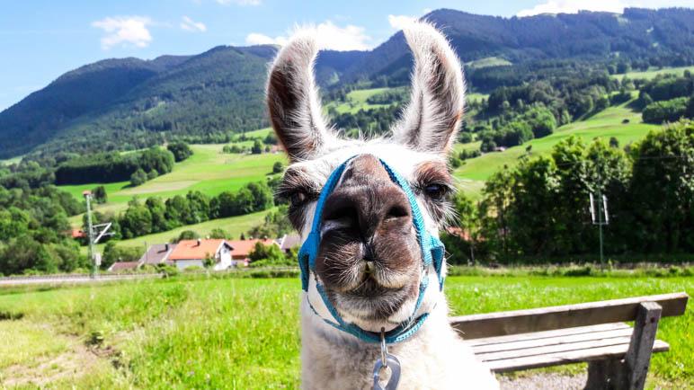 Wer kann diesem Lama-Blick widerstehen?