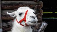 Noch etwas zögerlich schaut dieses Lama aus dem Stall …