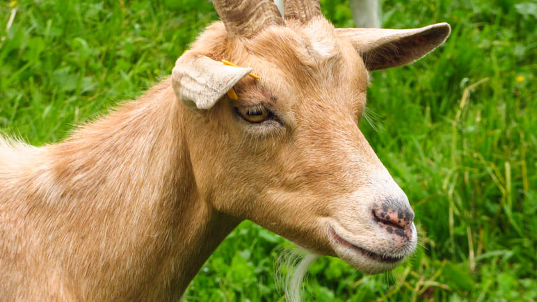 Eine Ziege mit besonders schöner Fellfarbe