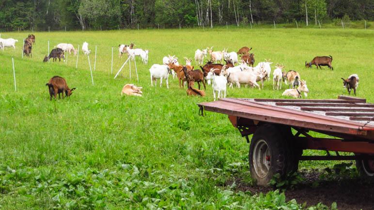 EIn Ruf und alle Ziegen kommen, um sich fotografieren zu lassen