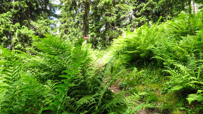 Durch den dichten Farnwald führt der derzeit noch fast ebene Weg