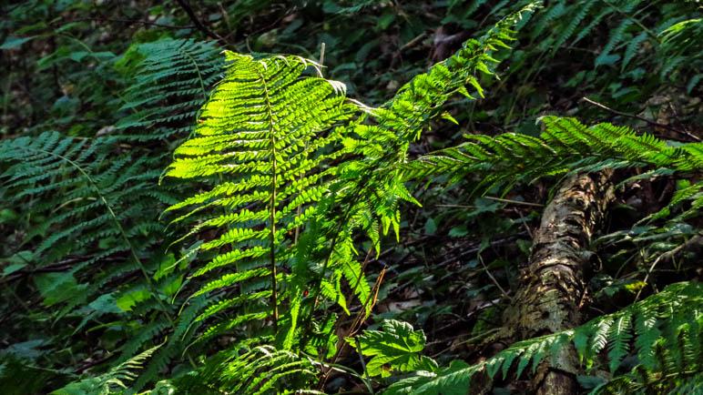 Leuchtend grüner Farn im Wald